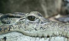 crocodile-66886_1280