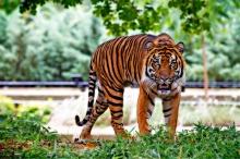 sumatran-tiger-518771_1280